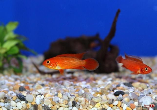 Agassizs Fire Red