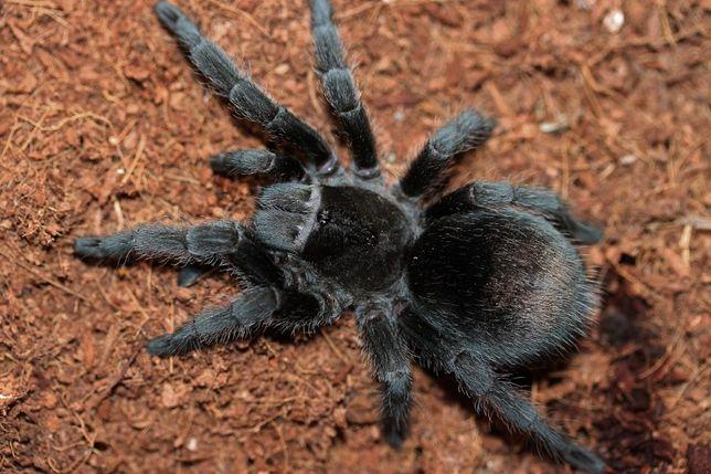 grammostola pulchra редкий бархатний павук птахоїд паук птицеед