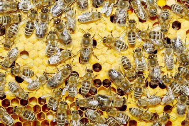 Бджолопакети породи Карпатка