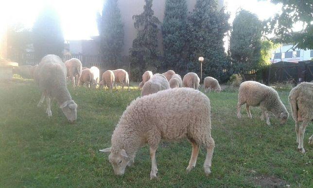 Owce olkuskie, kolczykowane