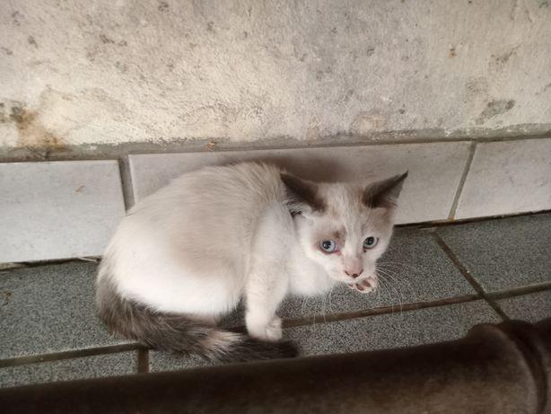 Dou 2 gatinhos siames