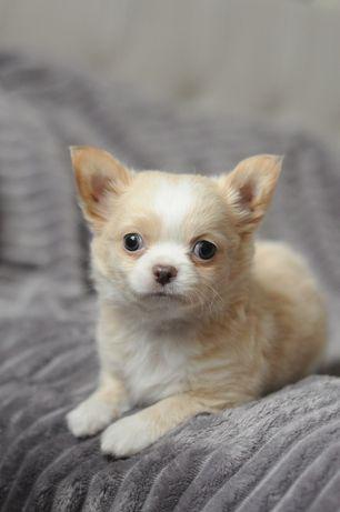 В продаже крутой щеночек чихуахуа длинник крем.