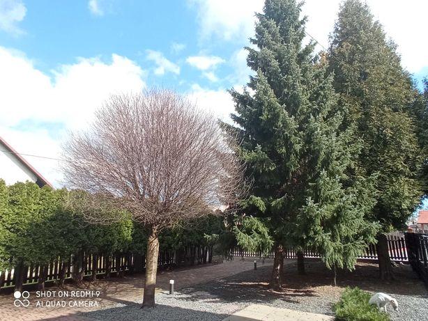 Drzewa do wycinki za darmo