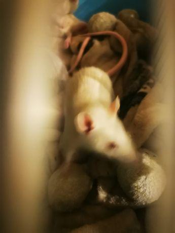 Oddam szczury 5 szt.