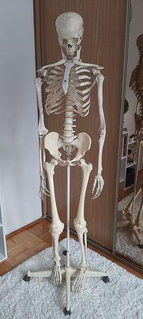 szkielet, model układu kostnego, anatomia, pomoc osteologiczna