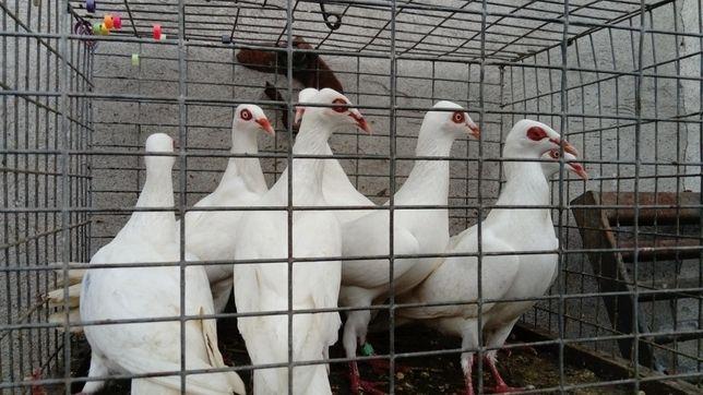 Gołębie Strauzyndery Tranzule Białe Kaliskie Keselskie Wysyłka