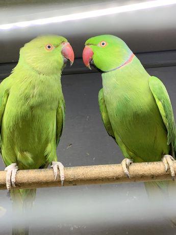 Сформированная пара ожереловых попугаев
