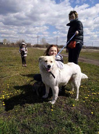 Собака похожа лабрадора/ретривера