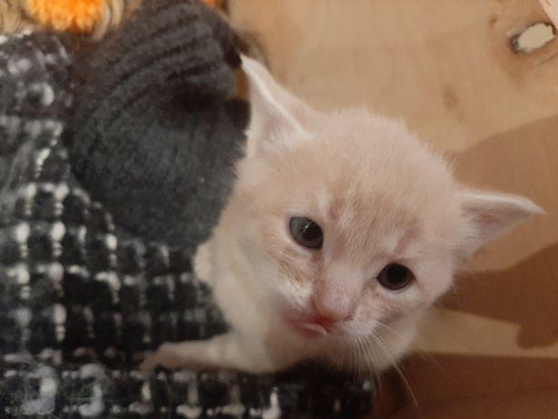 Котёнок,  котята мальчик Полтава