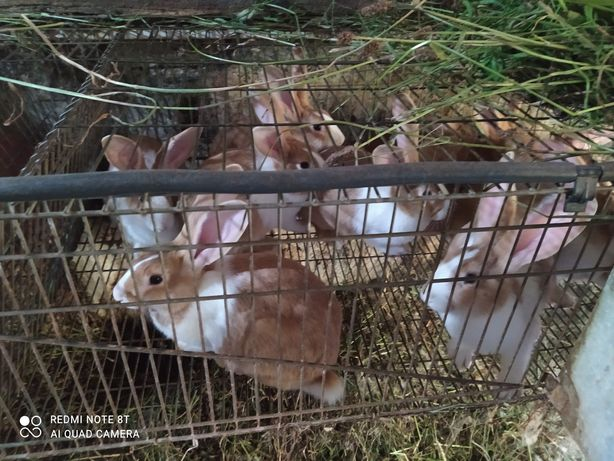 Vendo ninhadas de coelhos