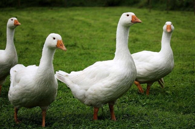 sprawione tuszki kacze i gęsie
