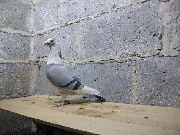gołębie- staropolskie -pocztowe