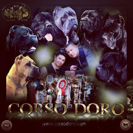 CORSO DORO Hodowla Cana Corso Italiano FCI/ ZKwP