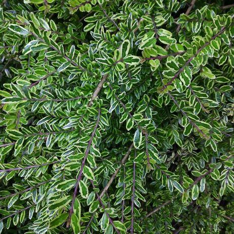 Жимолость шапочна варієгата декоративні рослини рослини  для саду