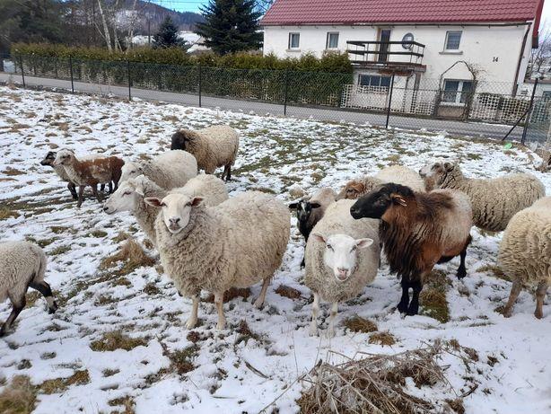 Owce kozy Barany bydło Rzeźne