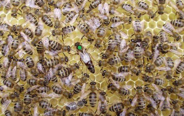 Бджоломатки карпатської породи (пчеломатка, карпатка, матка)