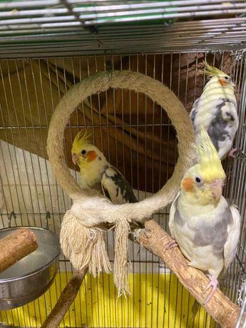 Продам яркого попугая кореллу