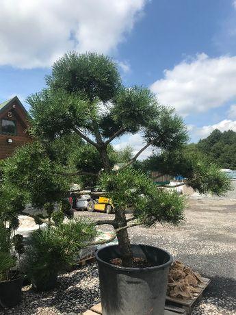Sosna Bonsai , krzewy, drzewa , byliny, rośliny ozdobne, PROMOCJA