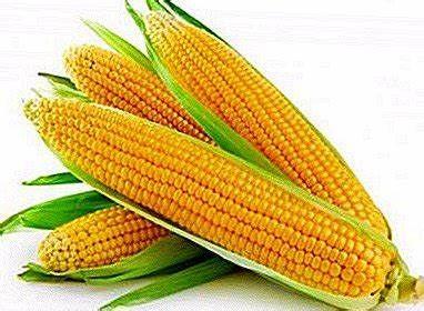 Kukurydza Konkurent Z:230 K:240 Smolice 50 tysięcy nasion