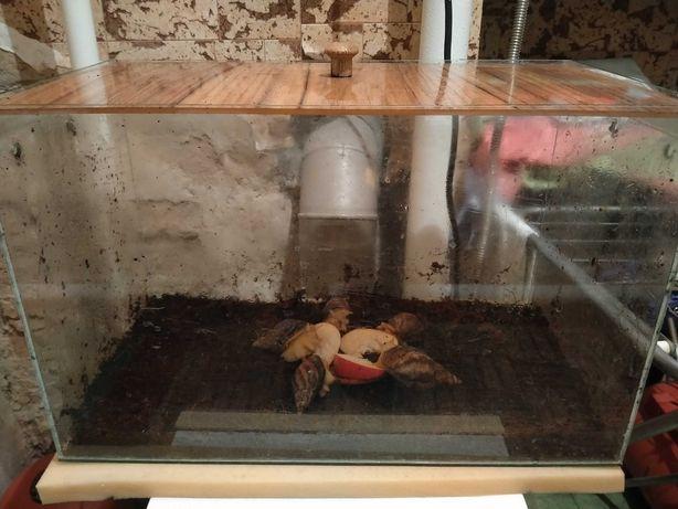 Ахатіни з акваріумом