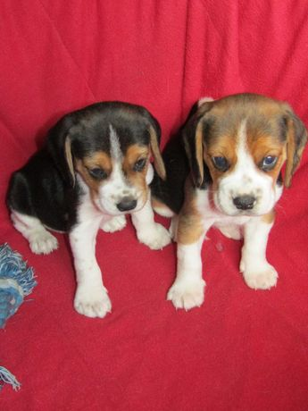 Beagle, Tricolor , LOP/Pedigree/Afixo