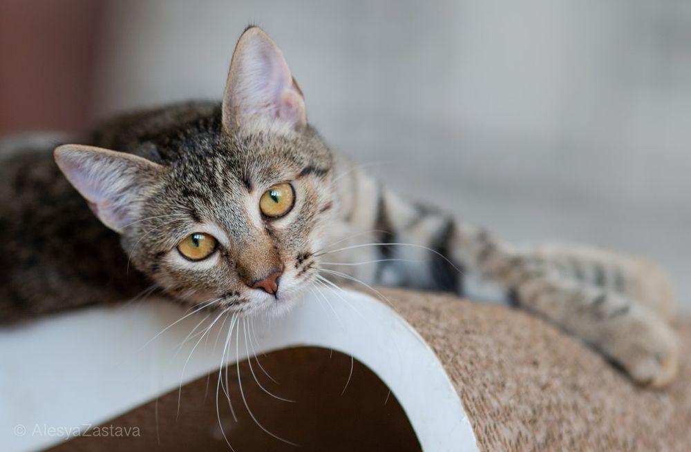 Темулен, 6 мес, кошка, кошечка, котенок Киев - изображение 1