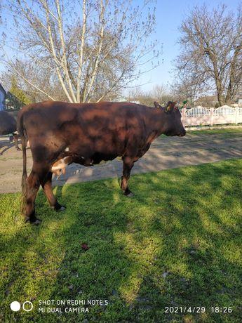 Продаю молодую  корову тельную
