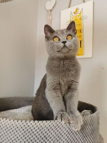 Kot Brytyjski kocięta kotki i  kocurki gotowe do odbioru