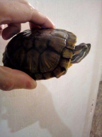 Невероятно красивая черепашка, 1 годик, 10 см. Корм в подарок!