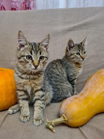 Серые полосатые котята в хорошие руки