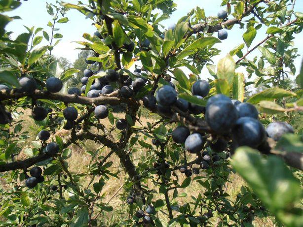 Owoce  tarniny świeże