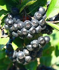 Owoce aronii ekologiczne