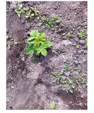 Саженцы малины Полана ремонтантная ростки