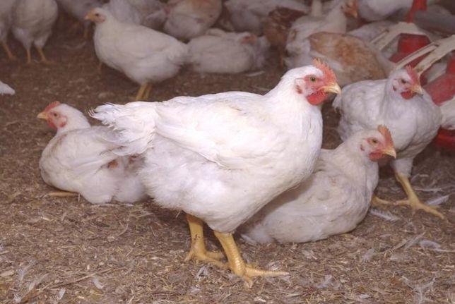Kurczaki brojlery od 11 marca 2021 r.