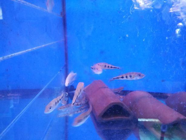 Cichla ocellaris 6-8cm