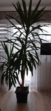 Kwiatek palma yuca juka 220 cm