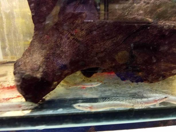 Polypterus delhezi10,0 cmod 3 sztuk po 32 zł