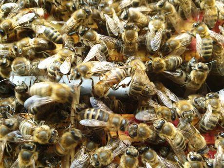 Rodziny pszczele pszczoły