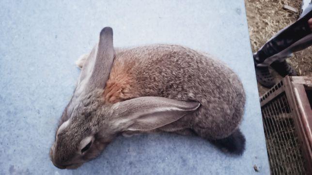 Продам кроликів 2 міс
