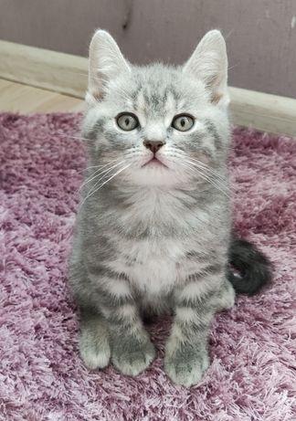 Британський короткошерстий котик