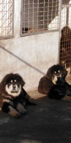 Тибетский Мастиф с доставкой