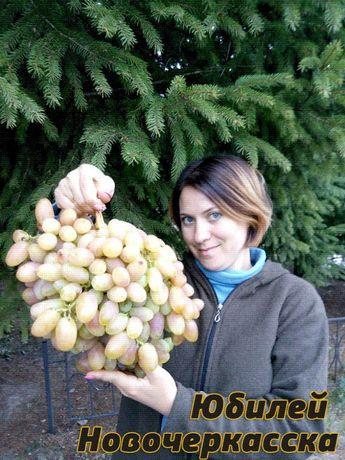 Зеленые ( вегетирующие ) саженцы винограда