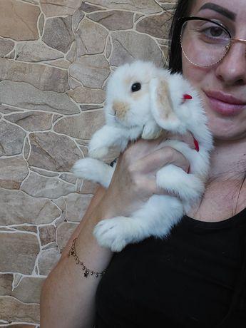Mini lop królik do odbioru