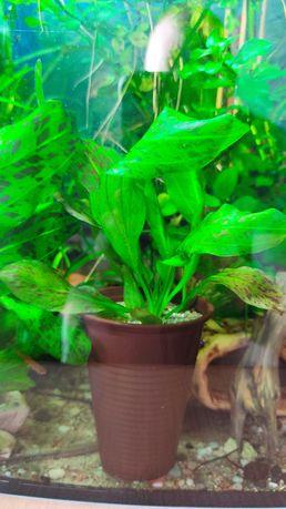 roślina do Akwarium, żabienica w  kubeczku