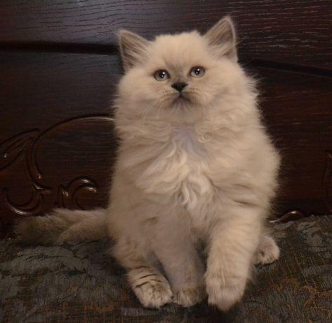 Шотландский прямоухий котёнок.