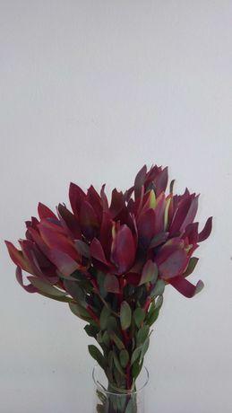 Folhagem e plantas de proteas leucodendron