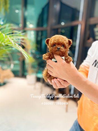 Teacup Teddy Poodle Nika