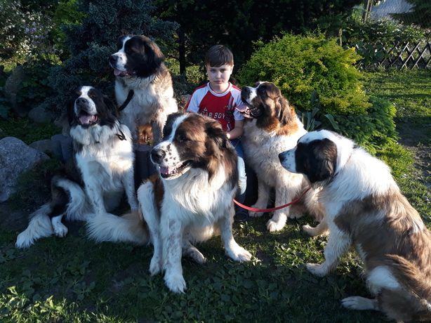 Moskiewski pies stróżujący z Rodowodem Nie Owczarek Kaukaz Bernardyn