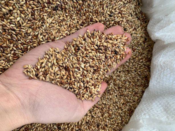 Семена Суданки! Самые лучшие сорта! Засухоустойчивые! Просчет кг/сотку