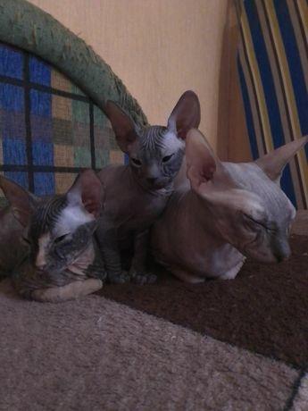 Котята донского сфинкса